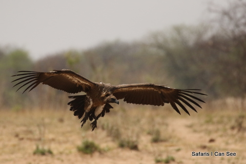 Article on the possible extinction of Vultures