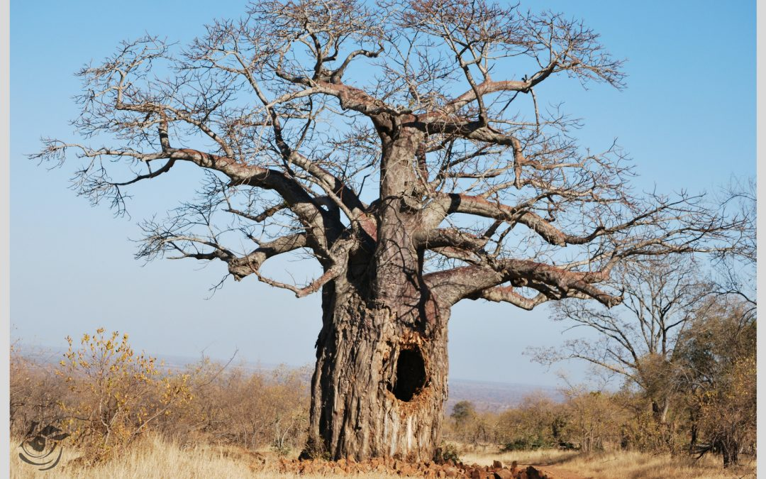 Wisdom is like a baobab tree; no one individual can embrace it