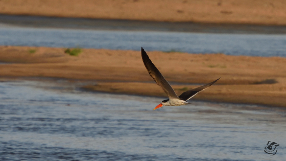 The Near Threatened African Skimmers